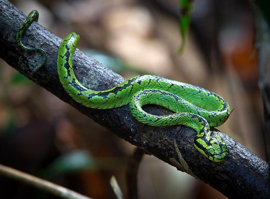 Green-Pit-Viper