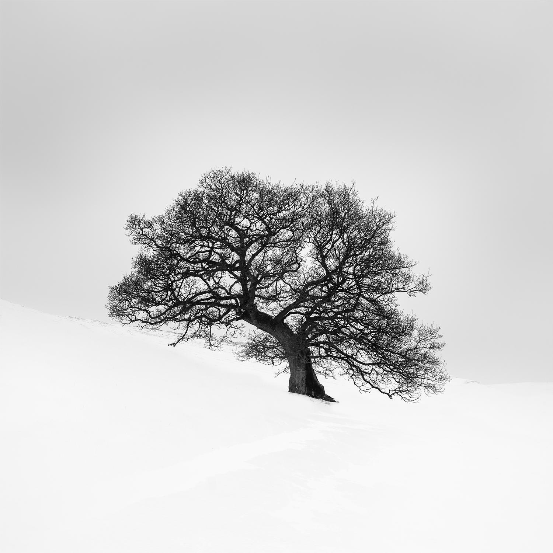 Hollow-Oak